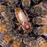 Reine d'une colonie d'abeilles