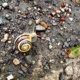 Escargot vivant