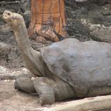Lonesome George (source: http://www.flickr.com/photos/mikeweston/332184687)
